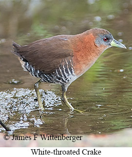 White-throated Crake - © James F Wittenberger and Exotic Birding Tours