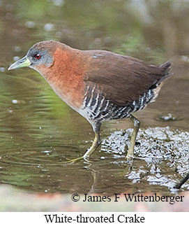 White-throated Crake - © James F Wittenberger and Exotic Birding LLC