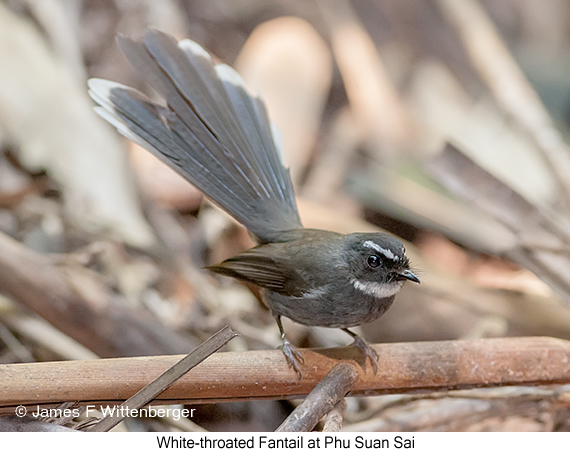 White-throated Fantail - © James F Wittenberger and Exotic Birding Tours