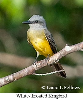 White-throated Kingbird - © Laura L Fellows and Exotic Birding LLC