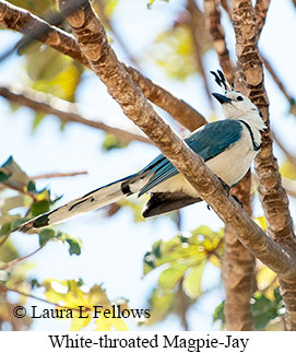 White-throated Magpie-Jay - © Laura L Fellows and Exotic Birding Tours