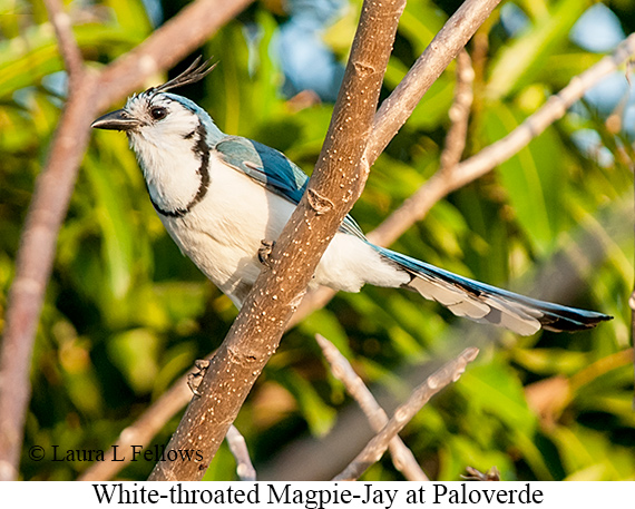 White-throated Magpie-Jay - © Laura L Fellows and Exotic Birding LLC