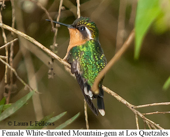 White-throated Mountain-gem - © Laura L Fellows and Exotic Birding Tours