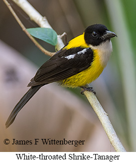 White-throated Shrike-Tanager - © James F Wittenberger and Exotic Birding Tours