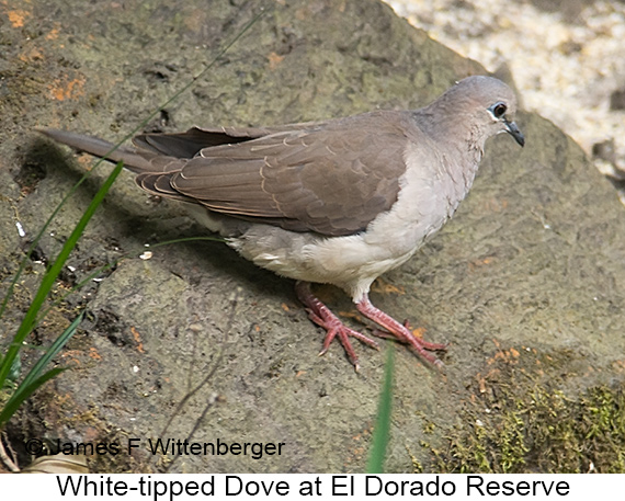 White-tipped Dove - © The Photographer and Exotic Birding LLC