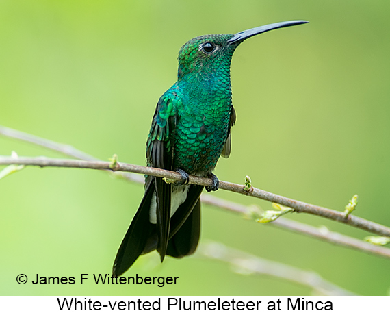 White-vented Plumeleteer - © James F Wittenberger and Exotic Birding LLC