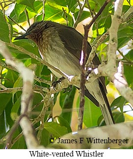 White-vented Whistler - © James F Wittenberger and Exotic Birding Tours
