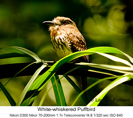 White-whiskered Puffbird - © Laura L Fellows and Exotic Birding Tours