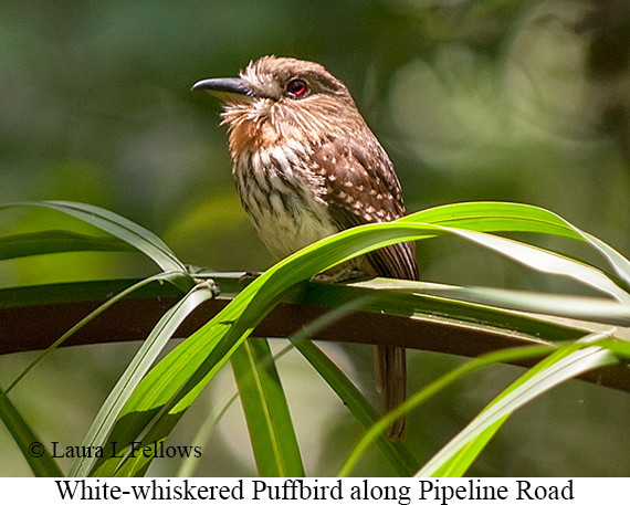 White-whiskered Puffbird - © The Photographer and Exotic Birding LLC