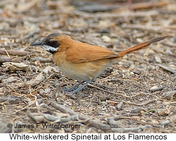 White-whiskered Spinetail - © James F Wittenberger and Exotic Birding LLC