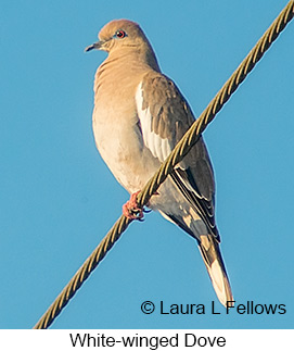 White-winged Dove - © Laura L Fellows and Exotic Birding LLC