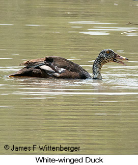 White-winged Duck - © James F Wittenberger and Exotic Birding LLC