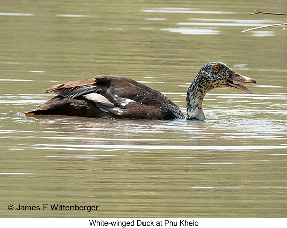 White-winged Duck - © James F Wittenberger and Exotic Birding Tours