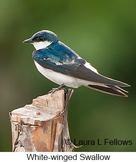 White-winged Swallow - © Laura L Fellows and Exotic Birding LLC