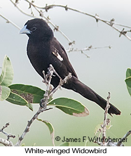White-winged Widowbird - © James F Wittenberger and Exotic Birding LLC