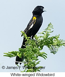 White-winged Widowbird - © James F Wittenberger and Exotic Birding Tours