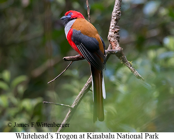 Whitehead's Trogon - © James F Wittenberger and Exotic Birding Tours