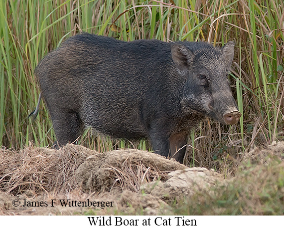 Wild Boar - © The Photographer and Exotic Birding LLC
