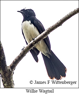 Willie-wagtail - © James F Wittenberger and Exotic Birding Tours
