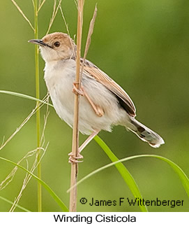 Winding Cisticola - © James F Wittenberger and Exotic Birding LLC