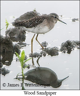 Wood Sandpiper - © James F Wittenberger and Exotic Birding Tours