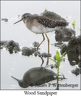 Wood Sandpiper - © James F Wittenberger and Exotic Birding LLC