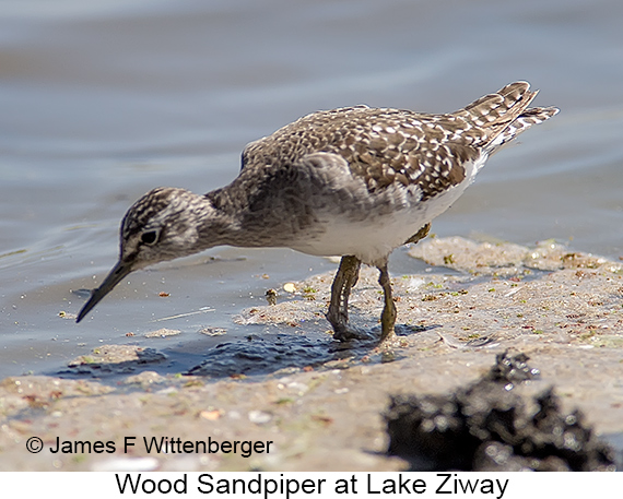 Wood Sandpiper - © The Photographer and Exotic Birding LLC