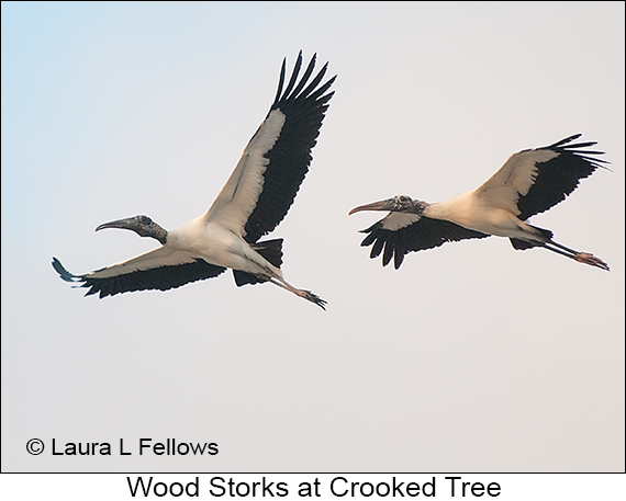 Wood Stork - © The Photographer and Exotic Birding LLC