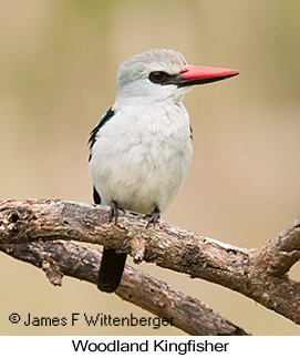 Woodland Kingfisher - © James F Wittenberger and Exotic Birding LLC