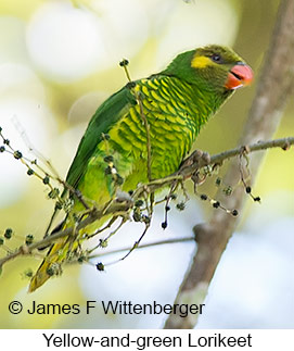 Yellow-and-green Lorikeet - © James F Wittenberger and Exotic Birding Tours