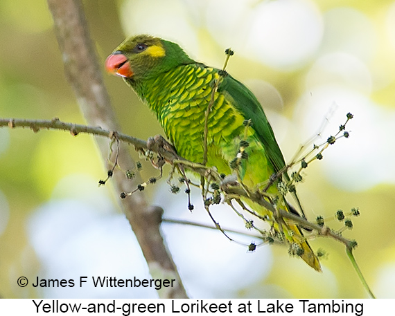 Yellow-and-green Lorikeet - © James F Wittenberger and Exotic Birding LLC