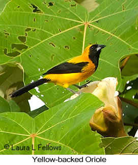 Yellow-backed Oriole - © Laura L Fellows and Exotic Birding Tours