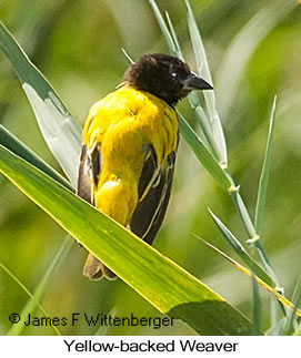 Black-headed Weaver - © James F Wittenberger and Exotic Birding LLC