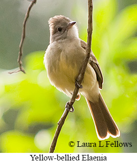 Yellow-bellied Elaenia - © Laura L Fellows and Exotic Birding Tours