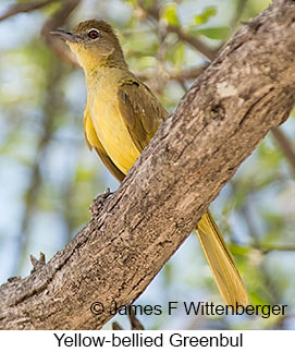 Yellow-bellied Greenbul - © James F Wittenberger and Exotic Birding LLC