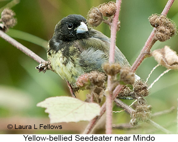 Yellow-bellied Seedeater - © Laura L Fellows and Exotic Birding Tours