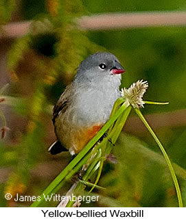 Yellow-bellied Waxbill - © James F Wittenberger and Exotic Birding Tours