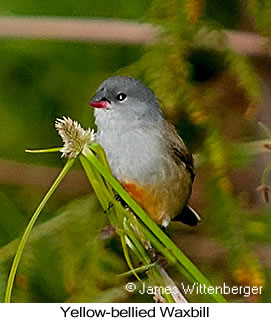 Yellow-bellied Waxbill - © James F Wittenberger and Exotic Birding LLC