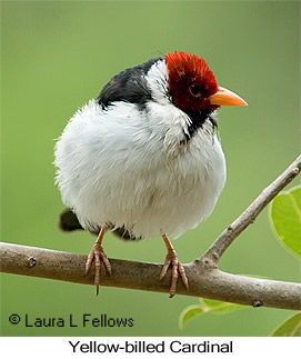 Yellow-billed Cardinal - © Laura L Fellows and Exotic Birding LLC