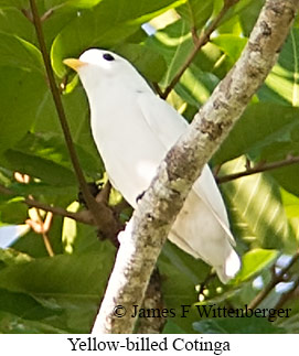 Yellow-billed Cotinga - © James F Wittenberger and Exotic Birding Tours