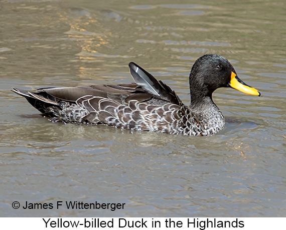 Yellow-billed Duck - © James F Wittenberger and Exotic Birding LLC