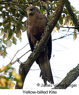 Yellow-billed Kite - © James F Wittenberger and Exotic Birding Tours