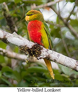 Yellow-billed Lorikeet - © James F Wittenberger and Exotic Birding LLC