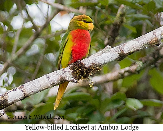 Yellow-billed Lorikeet - © James F Wittenberger and Exotic Birding Tours