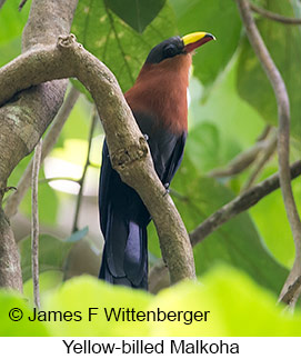 Yellow-billed Malkoha - © James F Wittenberger and Exotic Birding Tours