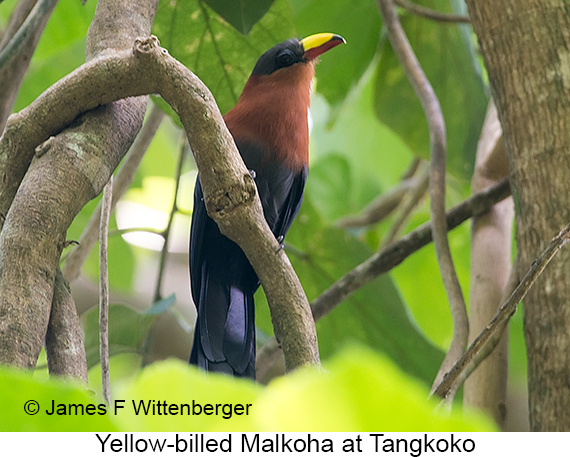 Yellow-billed Malkoha - © James F Wittenberger and Exotic Birding LLC