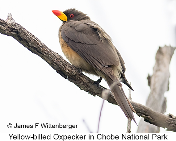 Yellow-billed Oxpecker - © James F Wittenberger and Exotic Birding LLC