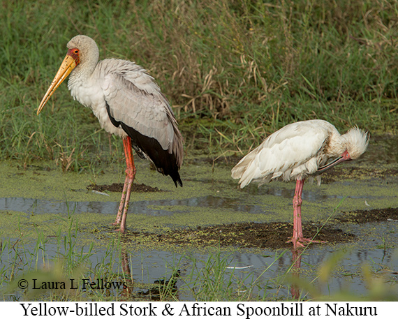Yellow-billed Stork - © Laura L Fellows and Exotic Birding LLC