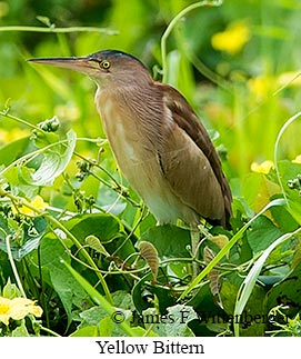 Yellow Bittern - © James F Wittenberger and Exotic Birding Tours