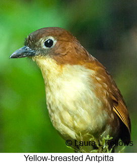 Yellow-breasted Antpitta - © Laura L Fellows and Exotic Birding LLC